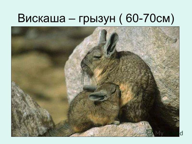 Вискаша – грызун ( 60-70 см)