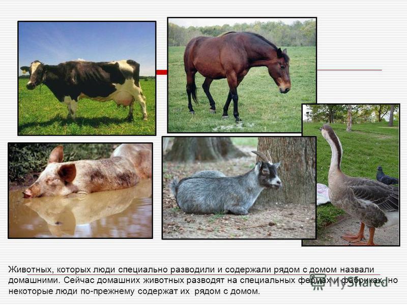 Животных, которых люди специально разводили и содержали рядом с домом назвали домашними. Сейчас домашних животных разводят на специальных фермах и фабриках, но некоторые люди по-прежнему содержат их рядом с домом.