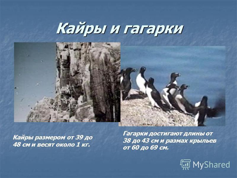 Кайры и гагарки Кайры размером от 39 до 48 см и весят около 1 кг. Гагарки достигают длины от 38 до 43 см и размах крыльев от 60 до 69 см.
