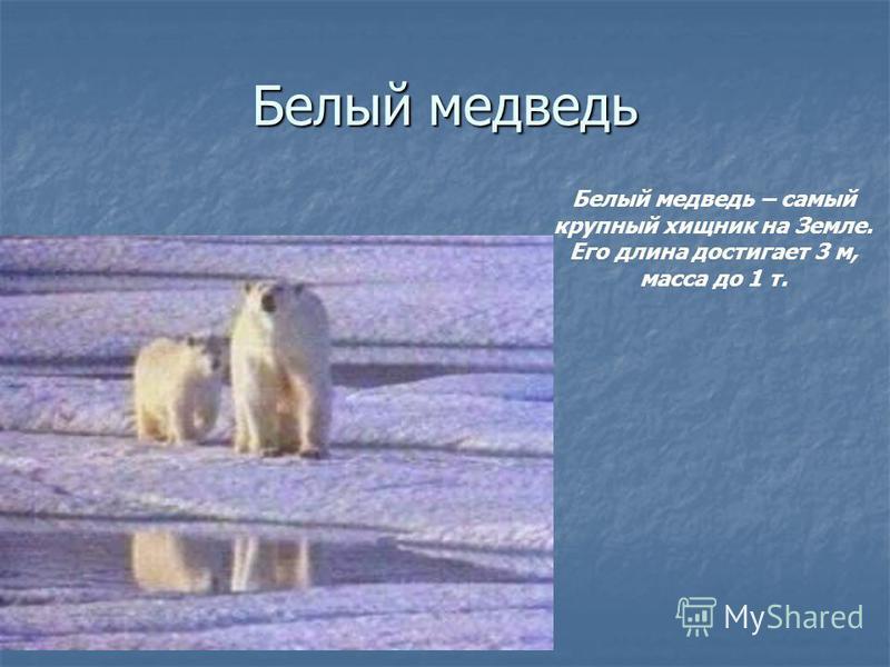 Белый медведь Белый медведь – самый крупный хищник на Земле. Его длина достигает 3 м, масса до 1 т.