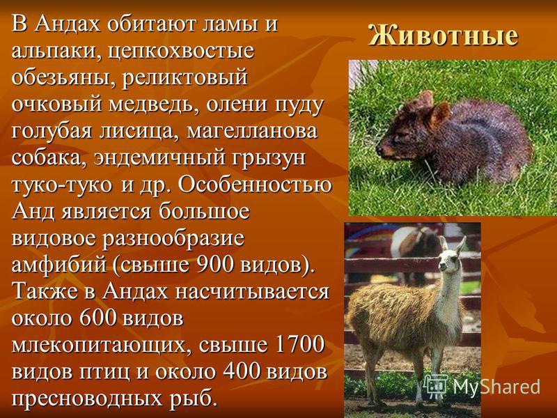 Животные В Андах обитают ламы и альпаки, цепкохвостые обезьяны, реликтовый очковый медведь, олени пуду голубая лисица, магелланова собака, эндемичный грызун туко-туко и др. Особенностью Анд является большое видовое разнообразие амфибий (свыше 900 вид