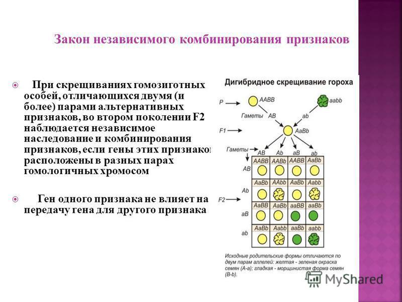 P: Aa x Aa G: A, a A, a F2 : AA; Aa; Aa; aa По фенотипу 3/4 особей (75%) имеют доминантный признак, а 1/4 (25%) - рецессивный. По генотипом 1/4 особей (25%) - доминантные гомозиготы АА, 2/4 (50%) - гетерозиготы Аа и 1/4 (25%) - рецессивные гомозиготы