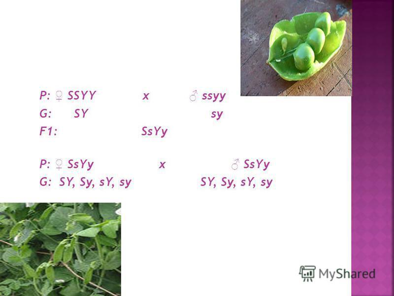 Чтобы понять сущность явлений, которые имеют место в дигибридном скрещивании, рассмотрим его генетическую схему: S - доминантный аллель желтого цвета семян гороха; s - рецессивный аллель зеленого цвета семян; Y - доминантный аллель гладкой формы семя