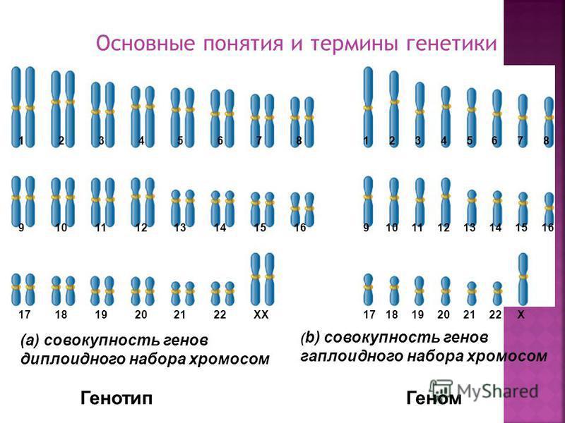 Геном: Совокупность генов в гаплоидному наборе хромосом видоспецифичен Генотип: Совокупность генов в диплоидному наборе хромосом видоспецифичен Организменный уровень реализации генетической информации представлен геномом и генотипом