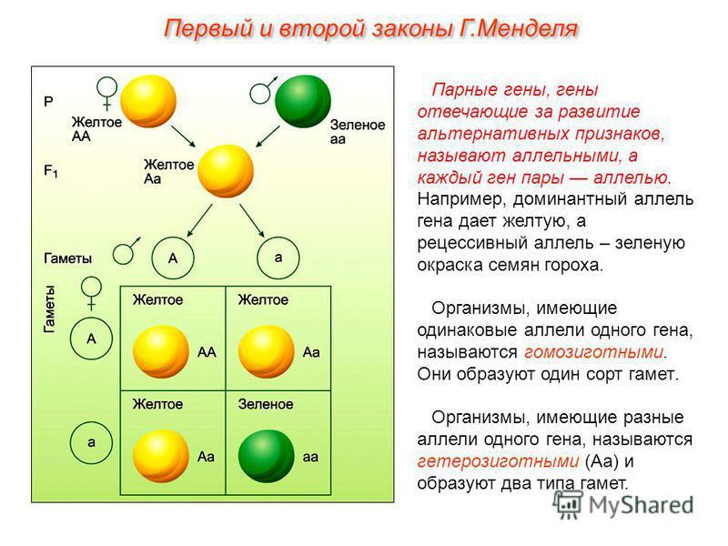 Парные гены, гены отвечающие за развитие альтернативных признаков, называют аллельными, а каждый ген пары аллелью. Например, доминантный аллель гена дает желтую, а рецессивный аллель – зеленую окраска семян гороха. Организмы, имеющие одинаковые аллел