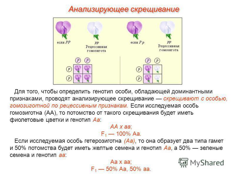 Анализирующее скрещивание Для того, чтобы определить генотип особи, обладающей доминантными признаками, проводят анализирующее скрещивание скрещивают с особью, гомозиготной по рецессивным признакам. Если исследуемая особь гомозиготна (АА), то потомст