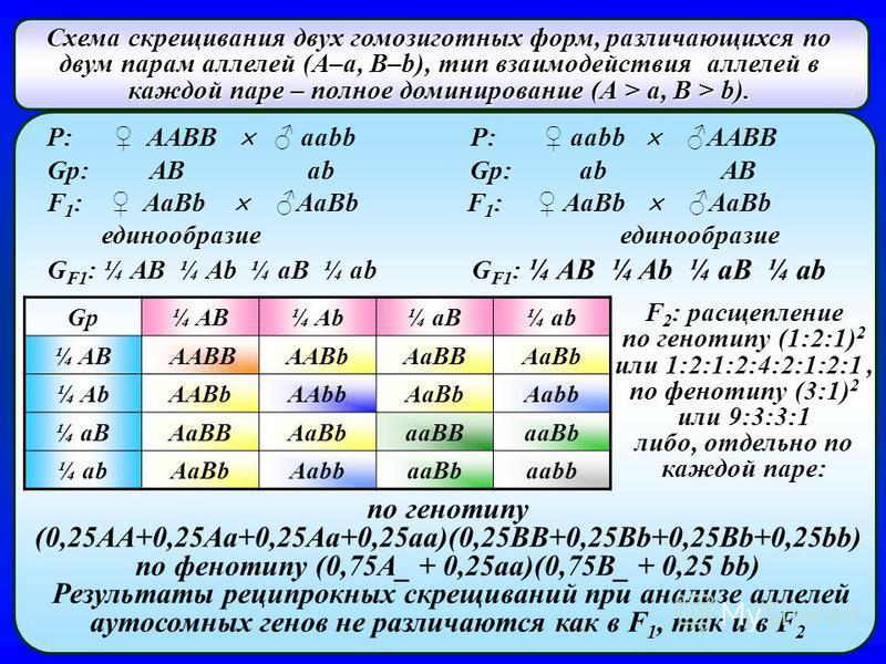 Схема скрещивания двух гомозиготных форм, различающихся по двум парам аллелей (А–а, В–b), тип взаимодействия аллелей в каждой паре – полное доминирование (А > а, В > b). P: AABB aabb P: aabb AABB Gp: AB ab Gp: ab AB F 1 : AaBb AaBb F 1 : AaBb AaBb ед