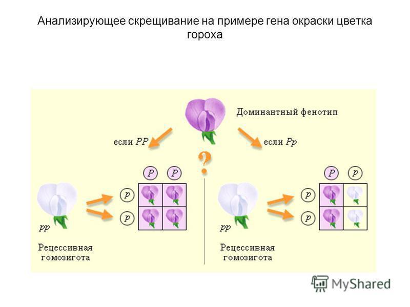 Анализирующее скрещивание на примере гена окраски цветка гороха