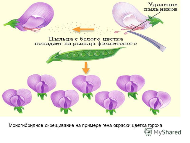 Моногибридное скрещивание на примере гена окраски цветка гороха