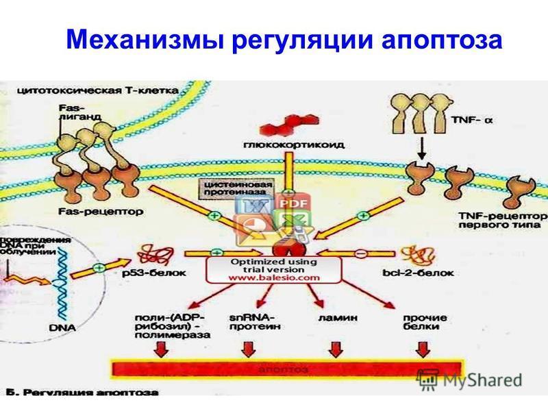 Механизмы регуляции апоптоза