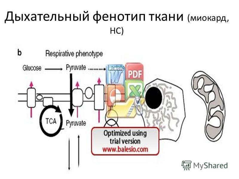 Дыхательный фенотип ткани (миокард, НС)