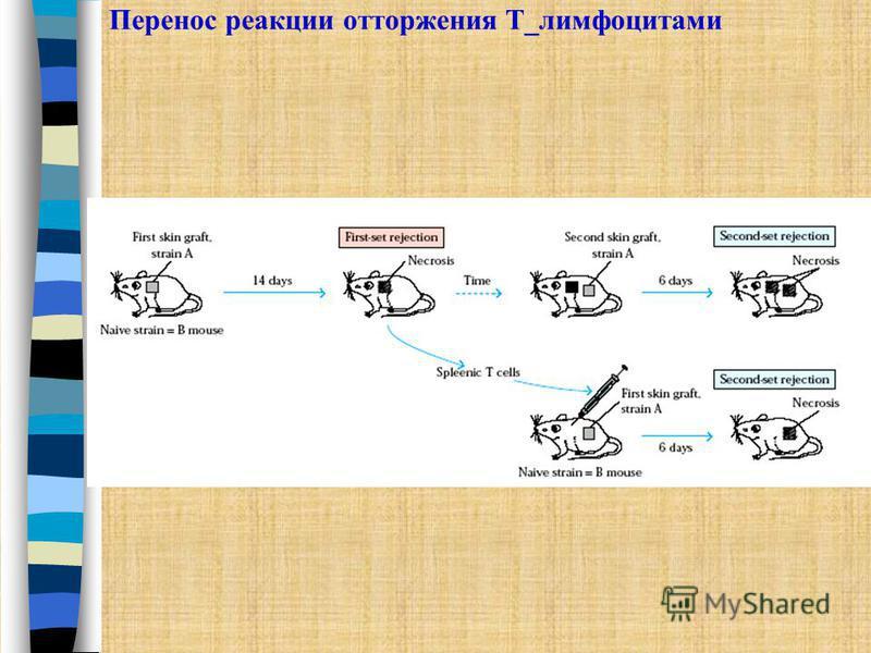 Перенос реакции отторжения Т_лимфоцитами