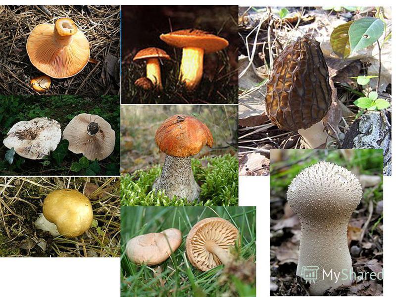 Существует множество съедобных грибов, регулярно выращиваемых и собираемых во всём мире. Грибы обладают специфическим вкусом и запахом, некоторые из них являются деликатесами и имеют высокую цену.