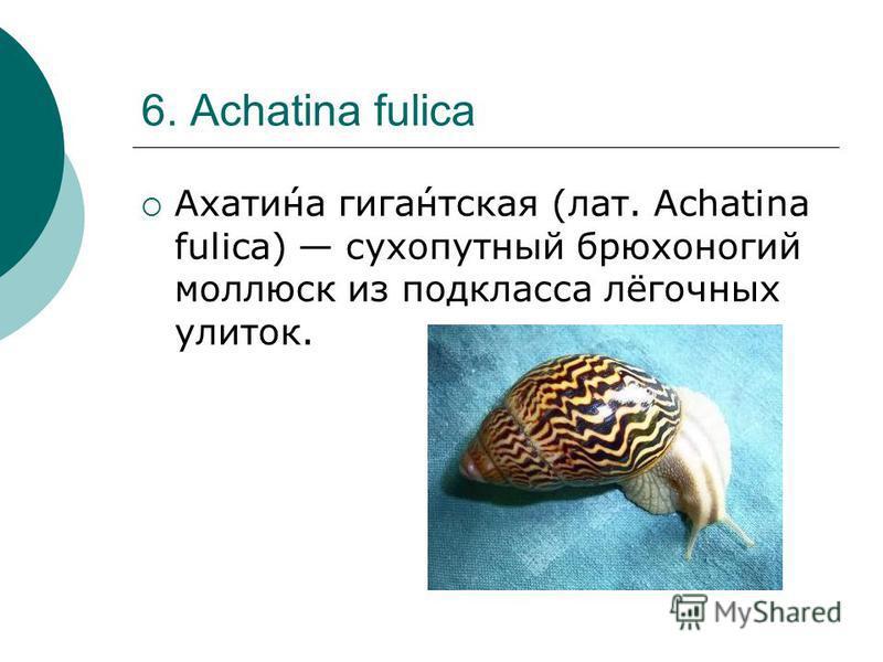 6. Achatina fulica Ахати́на гига́нтская (лат. Achatina fulica) сухопутный брюхоногий моллюск из подкласса лёгочных улиток.