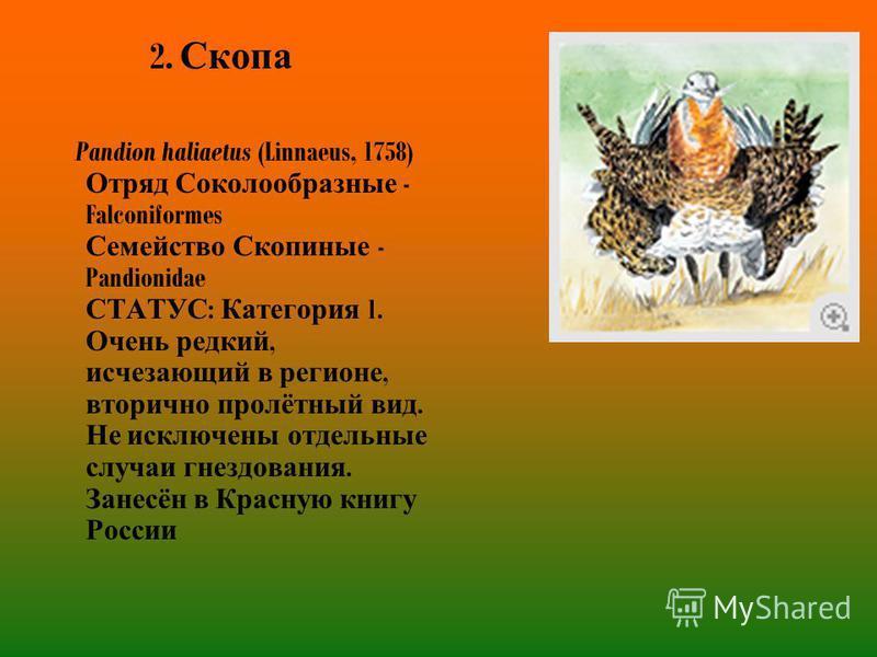 2. Скопа Pandion haliaetus (Linnaeus, 1758) Отряд Соколообразные - Falconiformes Семейство Скопиные - Pandionidae СТАТУС : Категория 1. Очень редкий, исчезающий в регионе, вторично пролётный вид. Не исключены отдельные случаи гнездования. Занесён в К