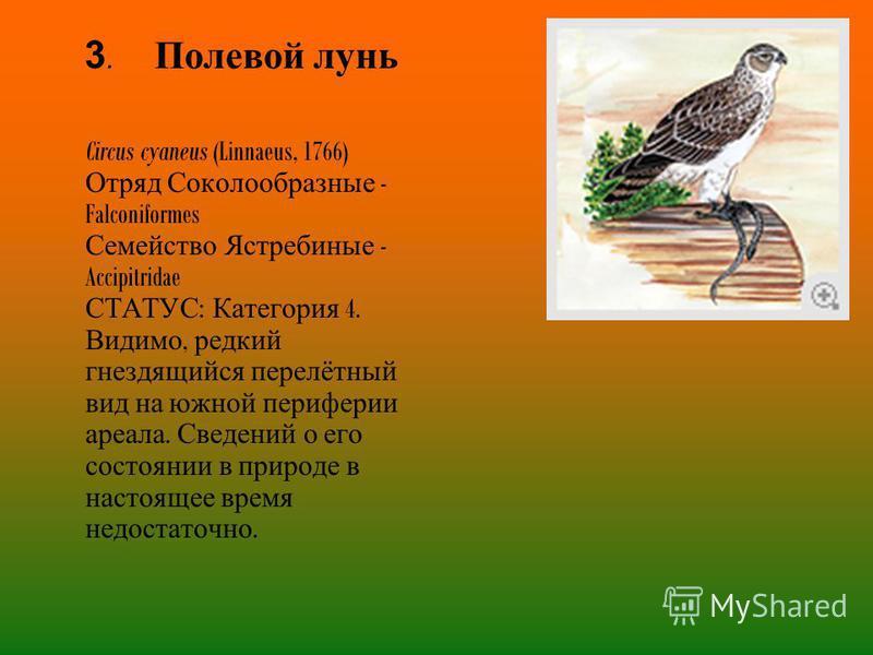3. Полевой лунь Circus cyaneus (Linnaeus, 1766) Отряд Соколообразные - Falconiformes Семейство Ястребиные - Accipitridae СТАТУС : Категория 4. Видимо, редкий гнездящийся перелётный вид на южной периферии ареала. Сведений о его состоянии в природе в н