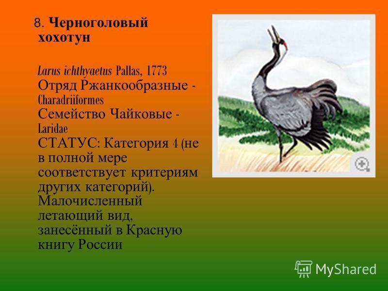 8. Черноголовый хохотун Larus ichthyaetus Pallas, 1773 Отряд Ржанкообразные - Charadriiformes Семейство Чайковые - Laridae СТАТУС : Категория 4 ( не в полной мере соответствует критериям других категорий ). Малочисленный летающий вид, занесённый в Кр