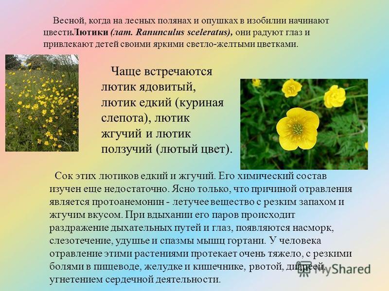 Весной, когда на лесных полянах и опушках в изобилии начинают цвести Лютики (лат. Ranunculus sceleratus), они радуют глаз и привлекают детей своими яркими светло-желтыми цветками. Чаще встречаются лютик ядовитый, лютик едкий (куриная слепота), лютик