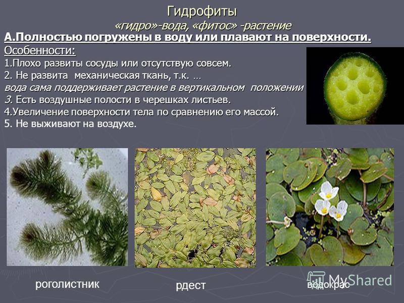 Гидрофиты «гидро»-вода, «фитос» -растение А.Полностью погружены в воду или плавают на поверхности. Особенности: 1. Плохо развиты сосуды или отсутствую совсем. 2. Не развита механическая ткань, т.к. … вода сама поддерживает растение в вертикальном пол