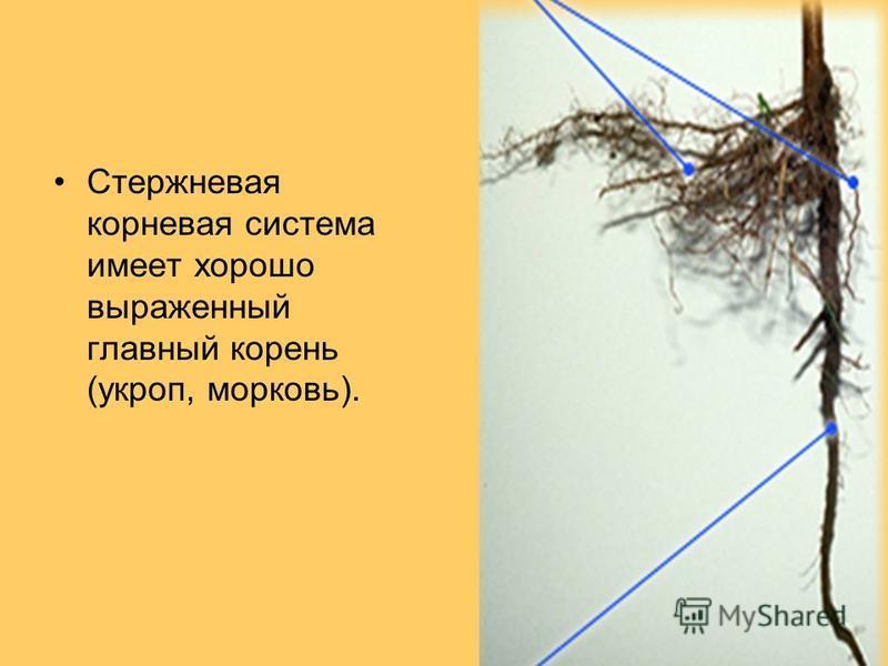 Стержневая корневая система имеет хорошо выраженный главный корень (укроп, морковь).