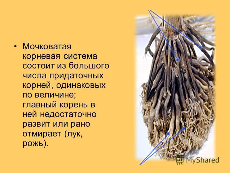 Мочковатая корневая система состоит из большого числа придаточных корней, одинаковых по величине; главный корень в ней недостаточно развит или рано отмирает (лук, рожь).