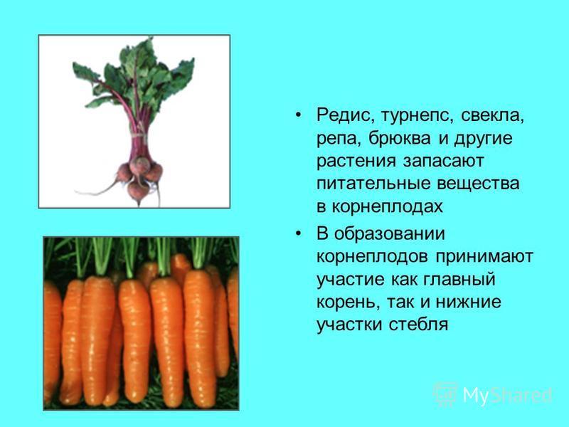 Редис, турнепс, свекла, репа, брюква и другие растения запасают питательные вещества в корнеплодах В образовании корнеплодов принимают участие как главный корень, так и нижние участки стебля