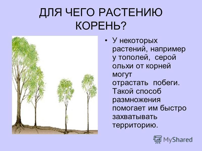 ДЛЯ ЧЕГО РАСТЕНИЮ КОРЕНЬ? У некоторых растений, например у тополей, серой ольхи от корней могут отрастать побеги. Такой способ размножения помогает им быстро захватывать территорию.