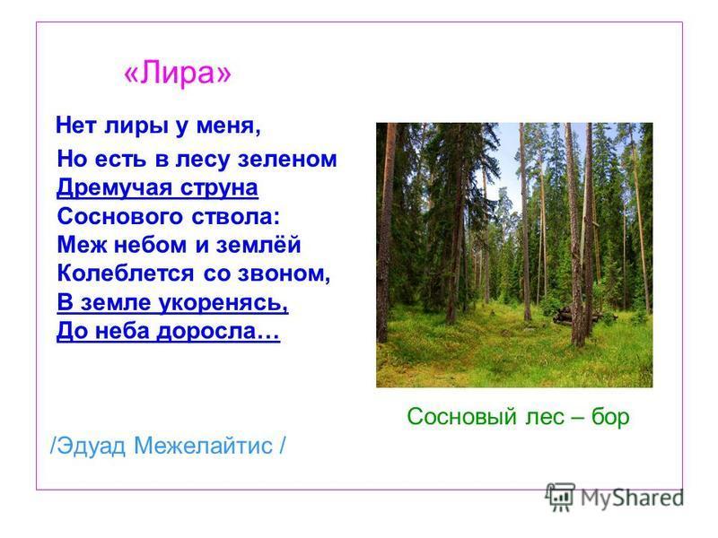 «Лира» Нет лиры у меня, Но есть в лесу зеленом Дремучая струна Соснового ствола: Меж небом и землёй Колеблется со звоном, В земле укореняясь, До неба доросла… Сосновый лес – бор /Эдуад Межелайтис /