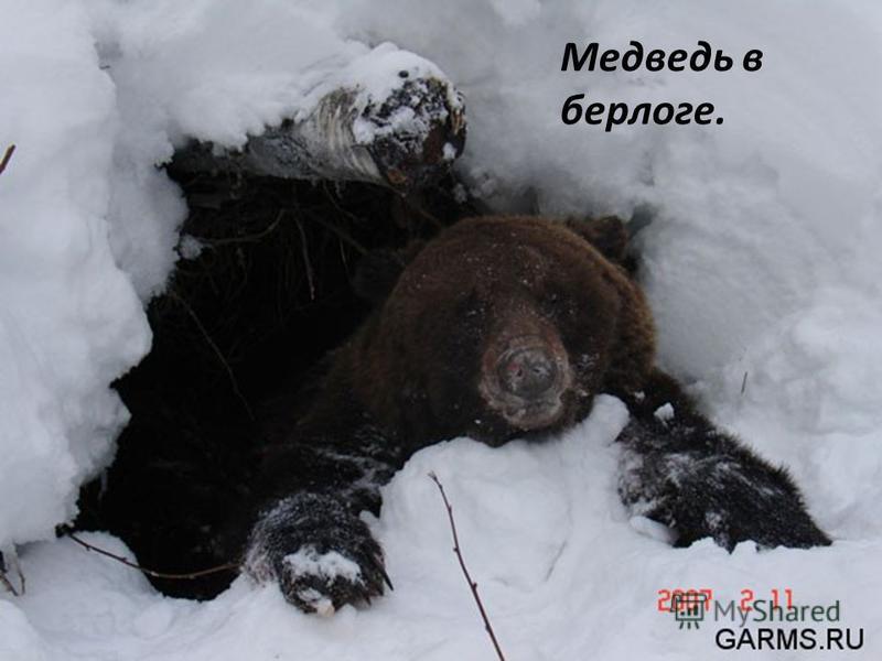 Медведь в берлоге.