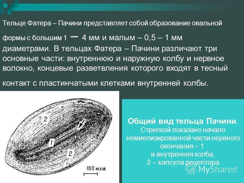 Тельце Фатера – Пачини представляет собой образование овальной формы с большим 1 – 4 мм и малым – 0,5 – 1 мм диаметрами. В тельцах Фатера – Пачини различают три основные части: внутреннюю и наружную колбу и нервное волокно, концевые разветвления кото