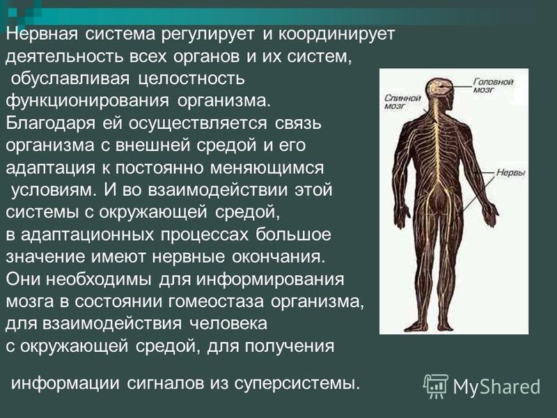Нервная система регулирует и координирует деятельность всех органов и их систем, обуславливая целостность функционирования организма. Благодаря ей осуществляется связь организма с внешней средой и его адаптация к постоянно меняющимся условиям. И во в