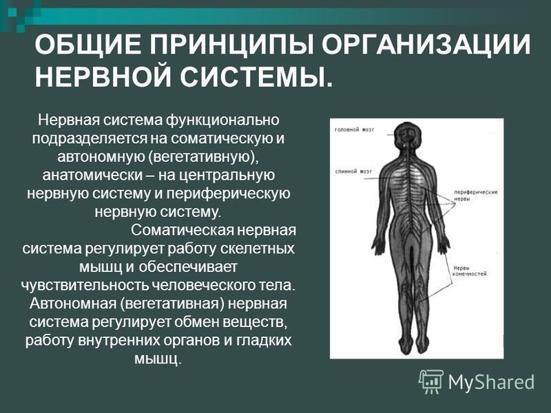 ОБЩИЕ ПРИНЦИПЫ ОРГАНИЗАЦИИ НЕРВНОЙ СИСТЕМЫ. Нервная система функционально подразделяется на соматическую и автономную (вегетативную), анатомически – на центральную нервную систему и периферическую нервную систему. Соматическая нервная система регулир