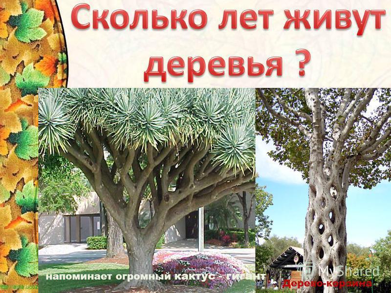 напоминает огромный кактус - гигант Дерево-корзина