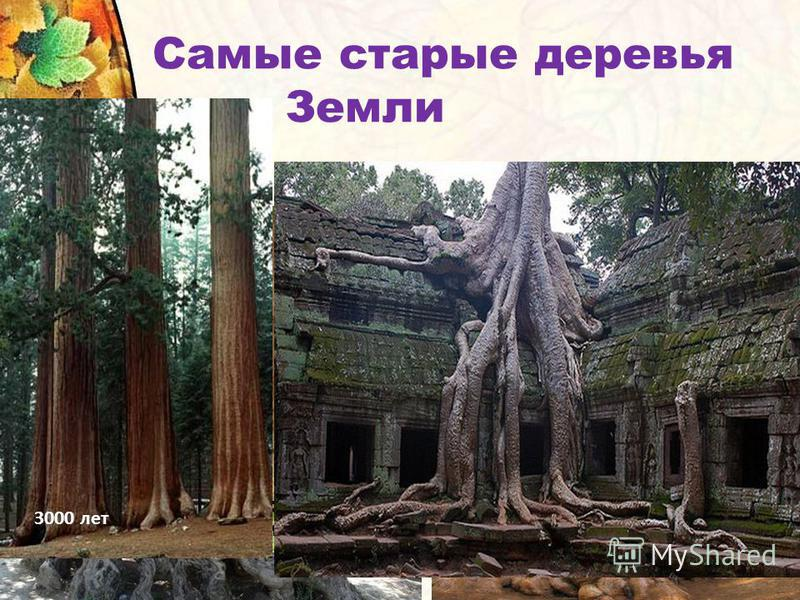 напоминает огромный кактус - гигант Дерево-корзина Ширина его достигает нескольких метров. А в окружности несколько десятков метров. Самые старые деревья Земли 3000 лет