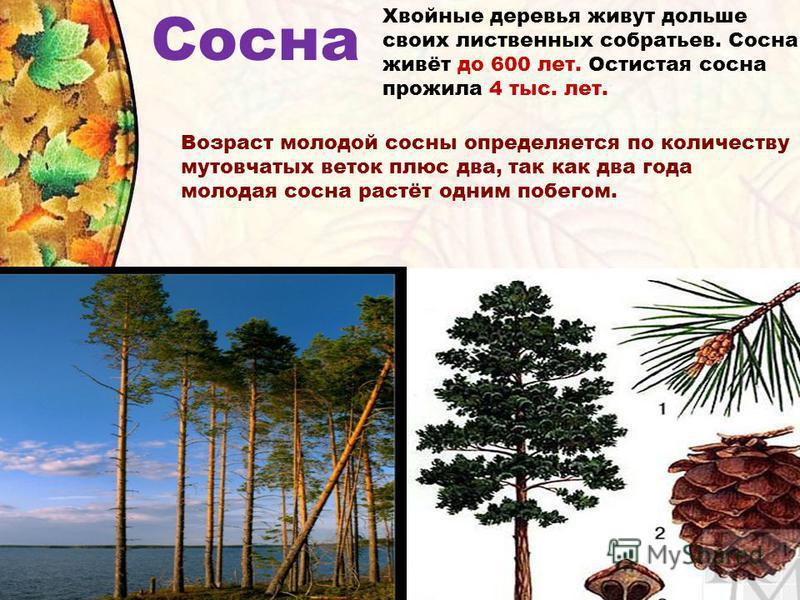 Сосна Хвойные деревья живут дольше своих лиственных собратьев. Сосна живёт до 600 лет. Остистая сосна прожила 4 тыс. лет. Возраст молодой сосны определяется по количеству мутовчатых веток плюс два, так как два года молодая сосна растёт одним побегом.
