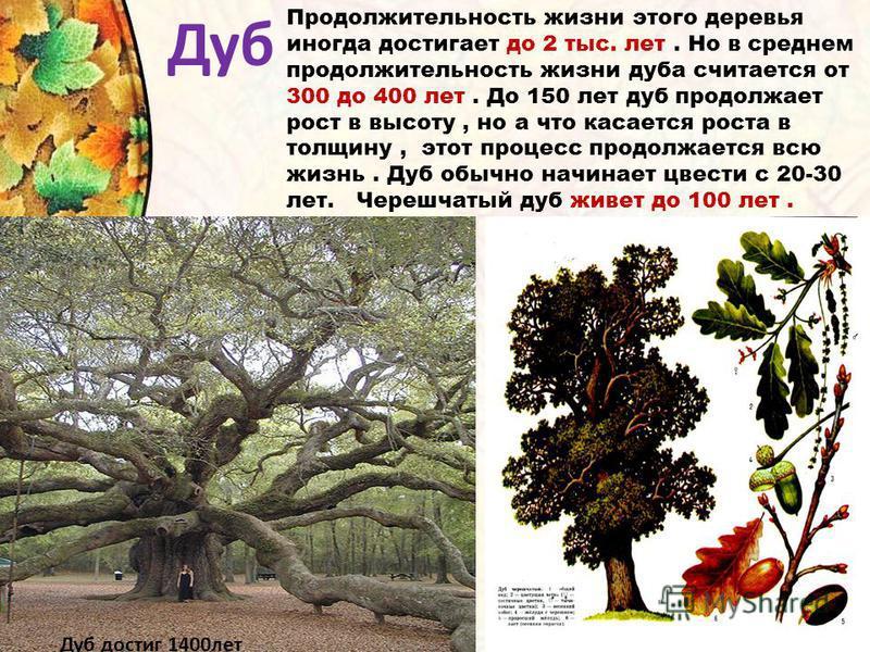 Дуб Продолжительность жизни этого деревья иногда достигает до 2 тыс. лет. Но в среднем продолжительность жизни дуба считается от 300 до 400 лет. До 150 лет дуб продолжает рост в высоту, но а что касается роста в толщину, этот процесс продолжается всю