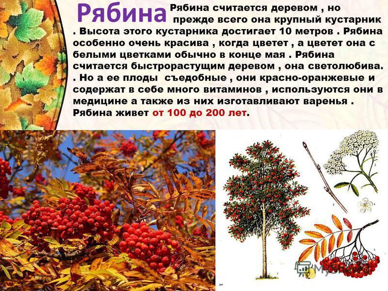 Рябина Рябина считается деревом, но прежде всего она крупный кустарник. Высота этого кустарника достигает 10 метров. Рябина особенно очень красива, когда цветет, а цветет она с белыми цветками обычно в конце мая. Рябина считается быстрорастущим дерев