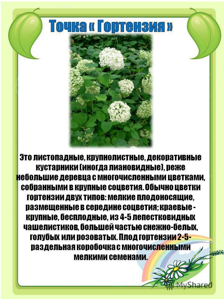 Это листопадные, крупнолистные, декоративные кустарники (иногда лиановидные), реже небольшие деревца с многочисленными цветками, собранными в крупные соцветия. Обычно цветки гортензии двух типов: мелкие плодоносящие, размещенные в середине соцветия;