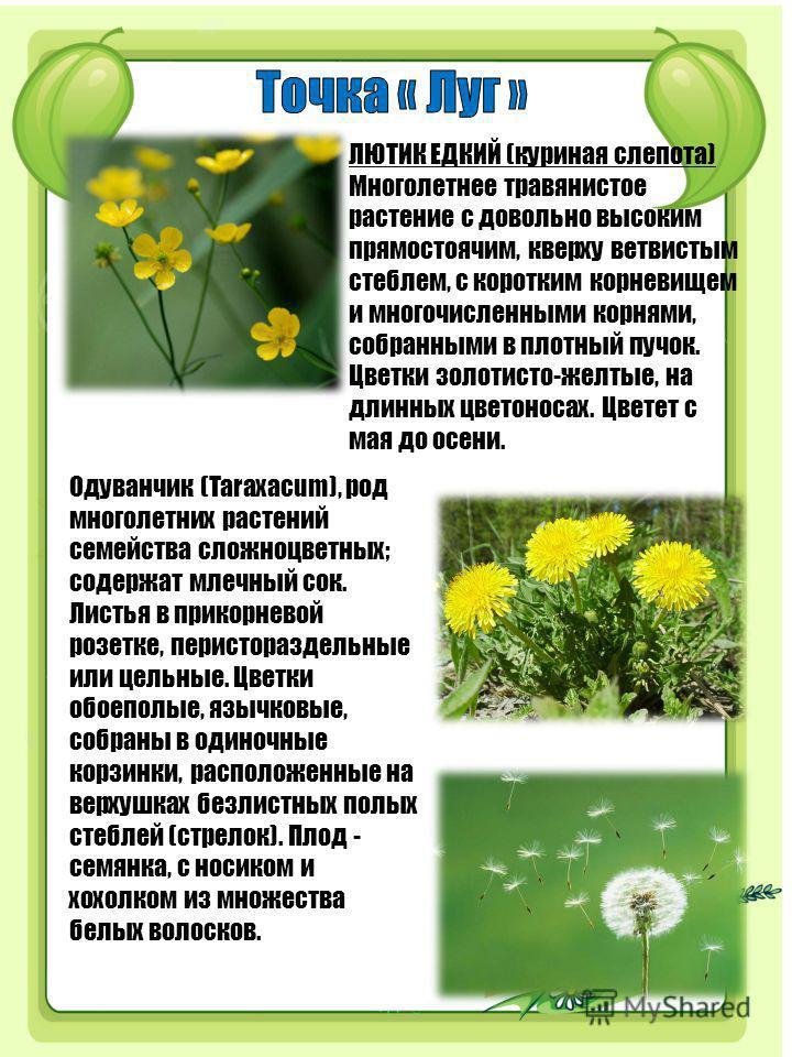 ЛЮТИК ЕДКИЙ (куриная слепота) Многолетнее травянистое растение с довольно высоким прямостоячим, кверху ветвистым стеблем, с коротким корневищем и многочисленными корнями, собранными в плотный пучок. Цветки золотисто-желтые, на длинных цветоносах. Цве