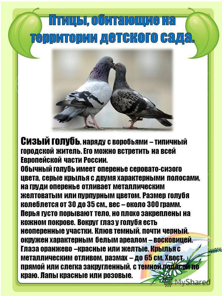 Сизый голубь, наряду с воробьями – типичный городской житель. Его можно встретить на всей Европейской части России. Обычный голубь имеет оперенье серовато-сизого цвета, серые крылья с двумя характерными полосами, на груди оперенье отливает металличес
