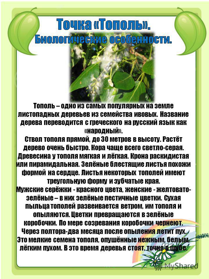 Тополь – одно из самых популярных на земле листопадных деревьев из семейства ивовых. Название дерева переводится с греческого на русский язык как «народный». Ствол тополя прямой, до 30 метров в высоту. Растёт дерево очень быстро. Кора чаще всего свет