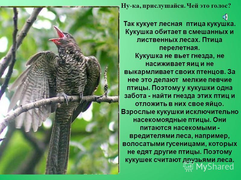 Так стучит своим крепким клювом дятел. Дятел живет в хвойных и смешанных лесах. Весной дятел пьет сок березы, продалбливая маленькие дырочки в коре. Летом кормится разными насекомыми, которых добывает под корой дерева. Осенью дятел поедает лесные яго