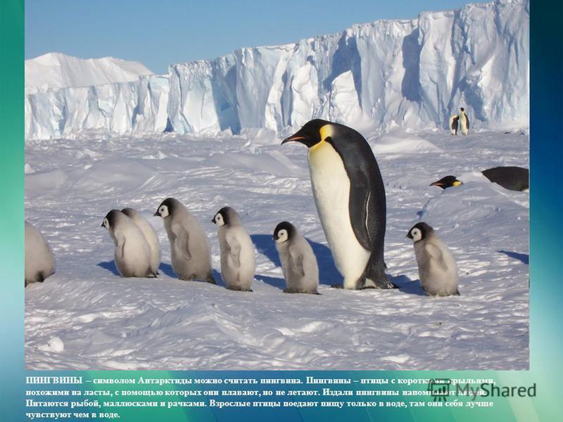 ПИНГВИНЫ – символом Антарктиды можно считать пингвина. Пингвины – птицы с короткими крыльями, похожими на ласты, с помощью которых они плавают, но не летают. Издали пингвины напоминают людей. Питаются рыбой, моллюсками и рачками. Взрослые птицы поеда