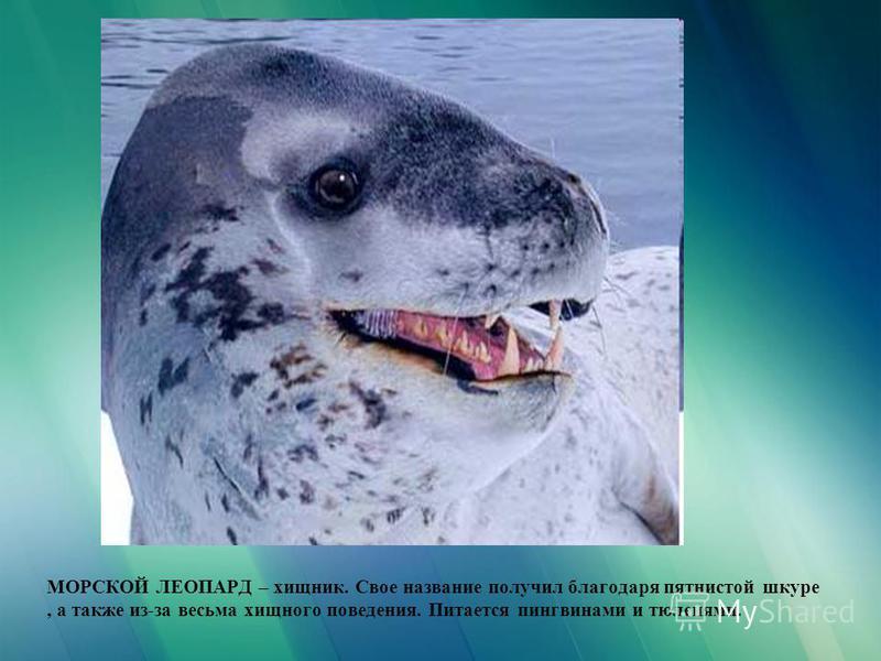 МОРСКОЙ ЛЕОПАРД – хищник. Свое название получил благодаря пятнистой шкуре, а также из-за весьма хищного поведения. Питается пингвинами и тюленями.