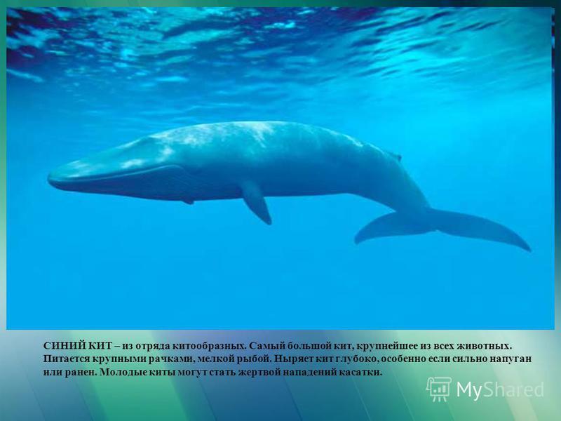 СИНИЙ КИТ – из отряда китообразных. Самый большой кит, крупнейшее из всех животных. Питается крупными рачками, мелкой рыбой. Ныряет кит глубоко, особенно если сильно напуган или ранен. Молодые киты могут стать жертвой нападений касатки.