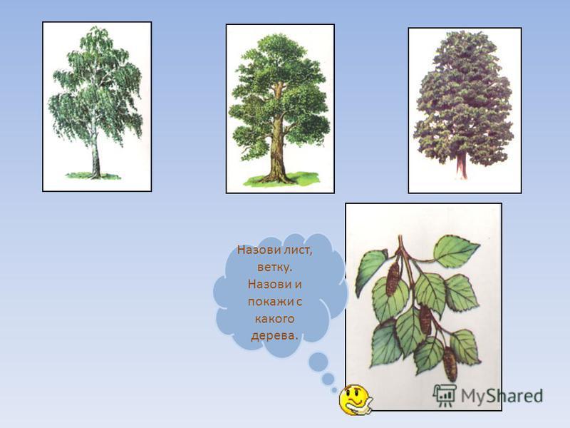 Назови лист, ветку. Назови и покажи с какого дерева.