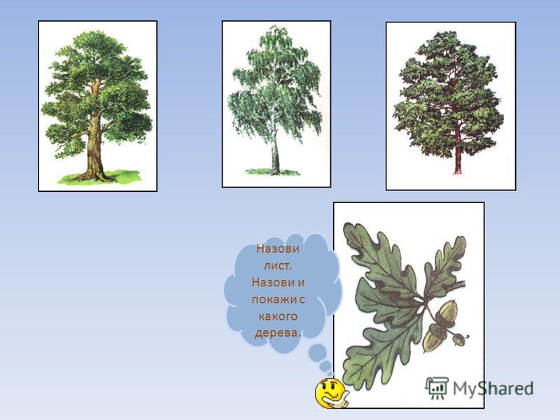 Назови лист. Назови и покажи с какого дерева.
