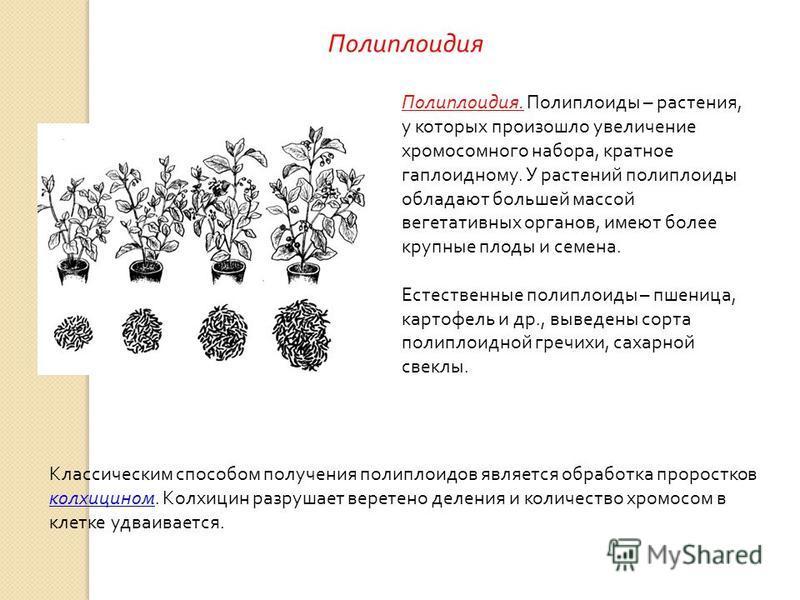 Полиплоидия. Полиплоиды – растения, у которых произошло увеличение хромосомного набора, кратное гаплоидному. У растений полиплоиды обладают большей массой вегетативных органов, имеют более крупные плоды и семена. Естественные полиплоиды – пшеница, ка