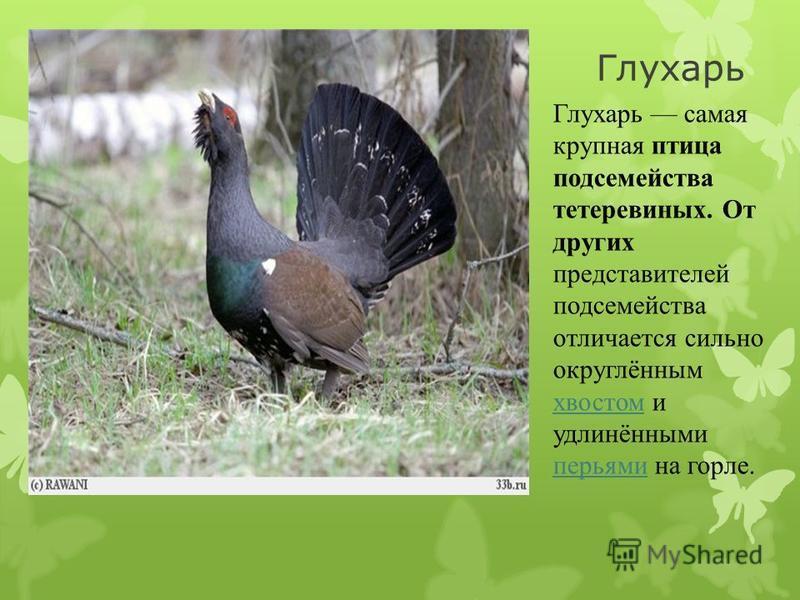 Гоголь птица семейства утиных, нырковая утка средней величины с большой округлой головой, коротким клювом и контрастным чёрно- белым оперением.утиных