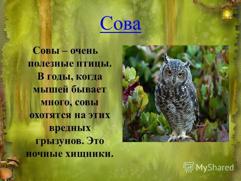 Сова Совы – очень полезные птицы. В годы, когда мышей бывает много, совы охотятся на этих вредных грызунов. Это ночные хищники.